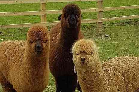 Suzies Alpacas - Aalpaca trekking experience with refreshments for two people or family of four - Save 40%