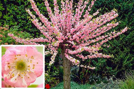 PlantStore - One or two Prunus Triloba cherry almond trees - Save 62%