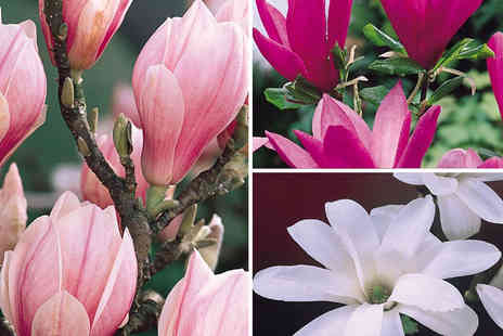 PlantStore - Magnolia shrub flowering sized collection - Save 60%