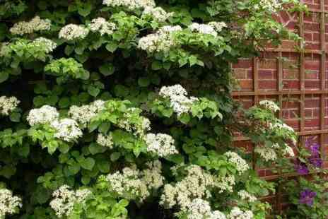 Plant Store - Two climbing hydrangeas - Save 60%