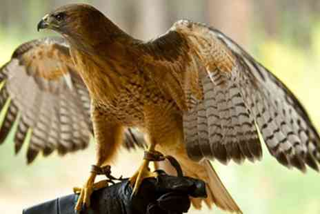Shropshire Falconry - Hawk Walk Experience for One, Two or Four - Save 62%