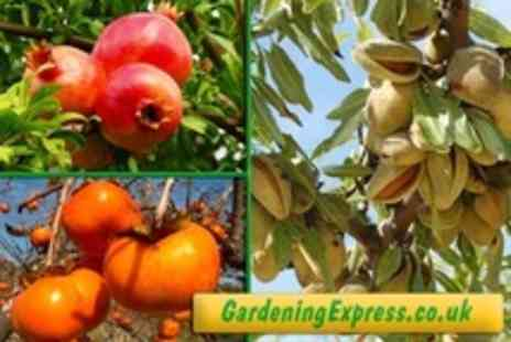 GardeningExpress.co.uk - Two Choice of Fruit Trees Such as Fig, Pomegranate, Almond and Sharon Fruit - Save 63%