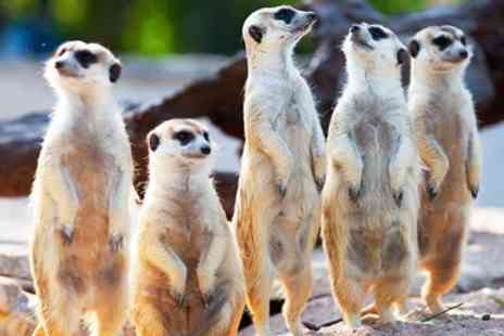 The Animal Experience - Meet the meerkats experience for 2 in Cambridgeshire - Save 51%