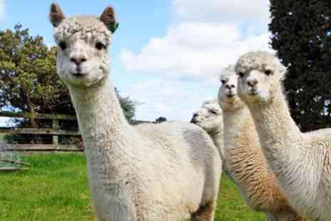 Birds of Prey Centre - Alpaca walk for 2 in Bedfordshire - Save 56%