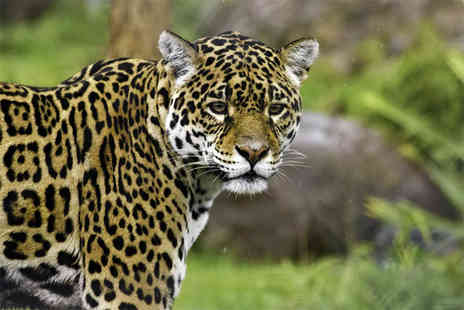 Safari Zoo - Big cat feeding and zoo keeper experience for one person - Save 43%