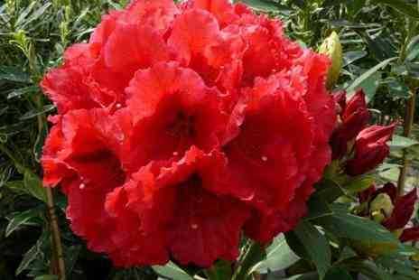 PlantStore - Red jack rhododendron tree - Save 55%