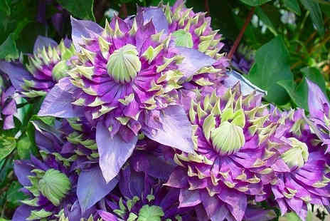 PlantStore - Two hardy tiger clematis plants - Save 52%