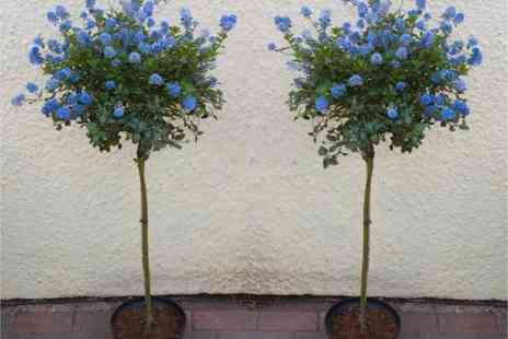 PlantStore - Two evergreen californian lilac trees - Save 67%
