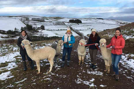 Beirhope Alpacas - Christmas themed alpaca experience for two or 90 minute alpaca trek and adoption experience for two - Save 24%