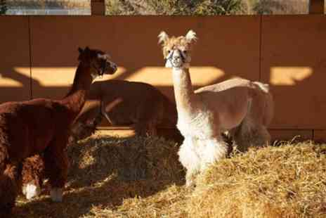 Kenward Trust - Alpaca Experience with Mince Pies and Hot Drink for Two or Four - Save 30%