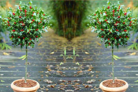 Plant Store - Pair of festive patio holly trees - Save 51%