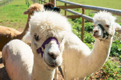 Woodland View Alpacas - Alpaca adoption package with a meet and greet for a family of four - Save 52%