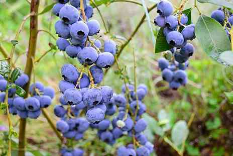 PlantStore - Three piece top hat patio blueberry plant collection or six piece collection - Save 63%