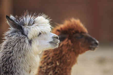 Charnwood Forest - Valentines alpaca trek and afternoon tea with a glass of Prosecco each for two people - Save 50%