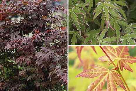 Blooming Direct - Japanese maple Acer collection - Save 50%