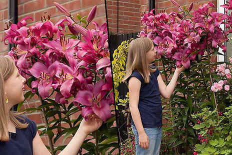 Blooming Direct - Skyscraper Giant Lily Tree Collection Choose 15 Bulbs - Save 58%
