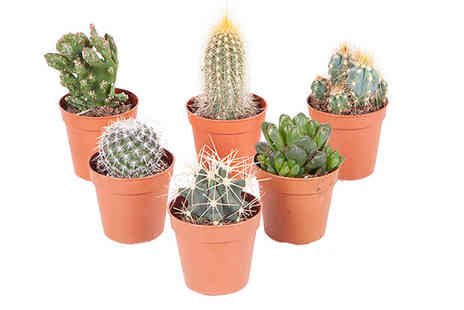 Blooming Direct - Mix of 6 indoor cactus plants - Save 33%