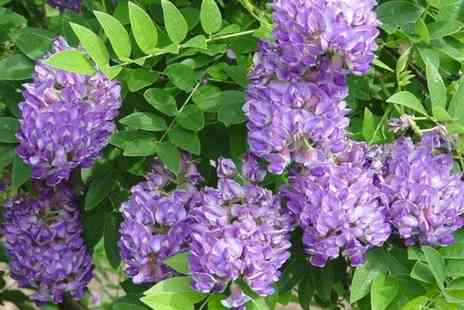 PlantStore - Wisteria amethyst falls plant - Save 29%