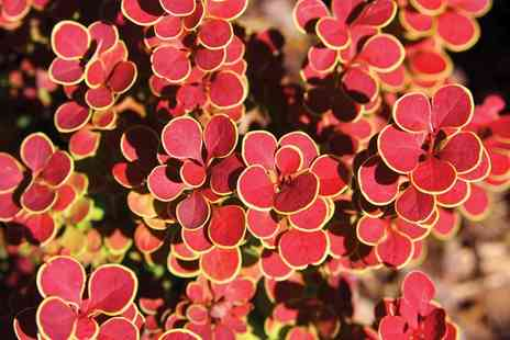 Groupon Goods Global GmbH - Berberis Orange Sunrise One, Two or Three Plants - Save 33%