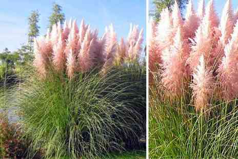 PlantStore - Collection of three Cortaderia selloana pampas grass plants choose from white or pink - Save 50%