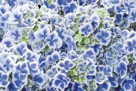 Groupon Goods Global GmbH - Hydrangea Bicolor Blue and White One, Two or Three Plants - Save 30%
