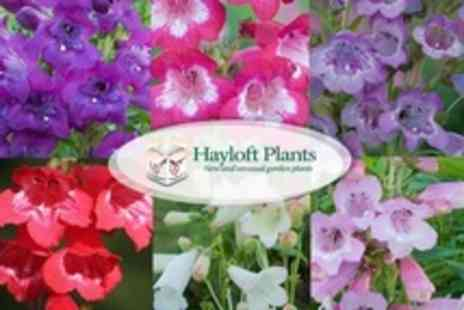 Hayloft Plants - Penstemon Pensham Flower Collection Two Sets of 12 - Save 55%