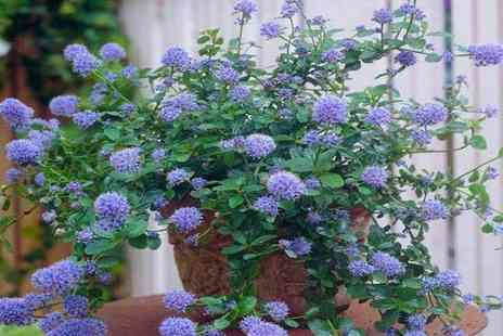 PlantStore - Set of three Californian lilac bushes - Save 49%
