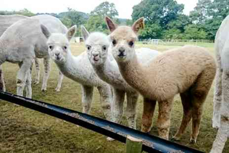 Charnwood Forest - Alpaca Walk and Afternoon Tea with Bubbles for One or Two - Save 45%