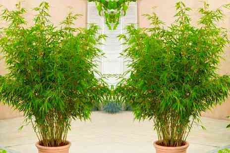 PlantStore - Pair of clumping umbrella fountain bamboo plants - Save 40%