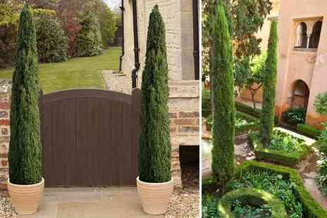 Blooming Direct - Two Italian Cypress trees bring the Mediterranean to you - Save 29%