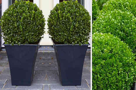 PlantStore - Two topiary buxus - Save 70%