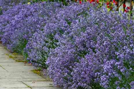 Groupon Goods Global GmbH - 12 or 24 English Lavender Plants - Save 0%