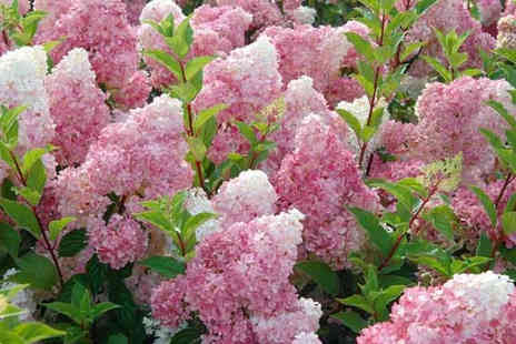 Plant Store - Two pink diamond Hydrangeas - Save 56%