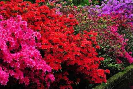 PlantStore - Evergreen Japanese azalea plant rainbow collection - Save 0%