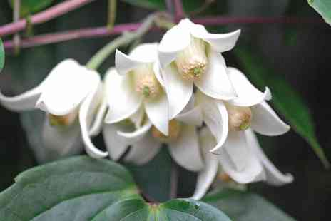 Groupon Goods Global GmbH - One, Two or Three Winter Flowering Evergreen Clematis Winter Beauty Plants - Save 0%