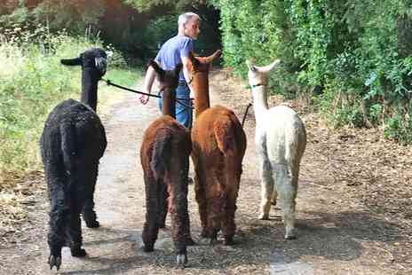 Wyld court alpacas - Alpaca walking experience for 2 - Save 43%