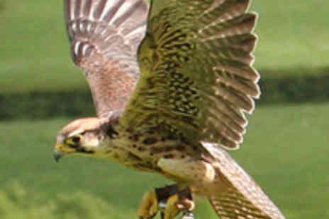 Pro Falconer - Half Day Falconry Experience - Save 70%