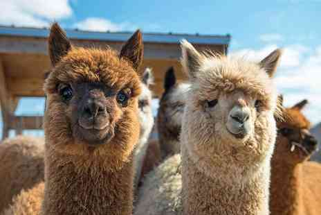 Willow Tree Family Farm - One hour walk with alpacas experience, cream tea and farm entry for one person - Save 60%
