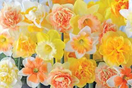 Groupon Goods Global GmbH - 25 or 50 Bulbs Daffodil Circus Sorbet - Save 33%